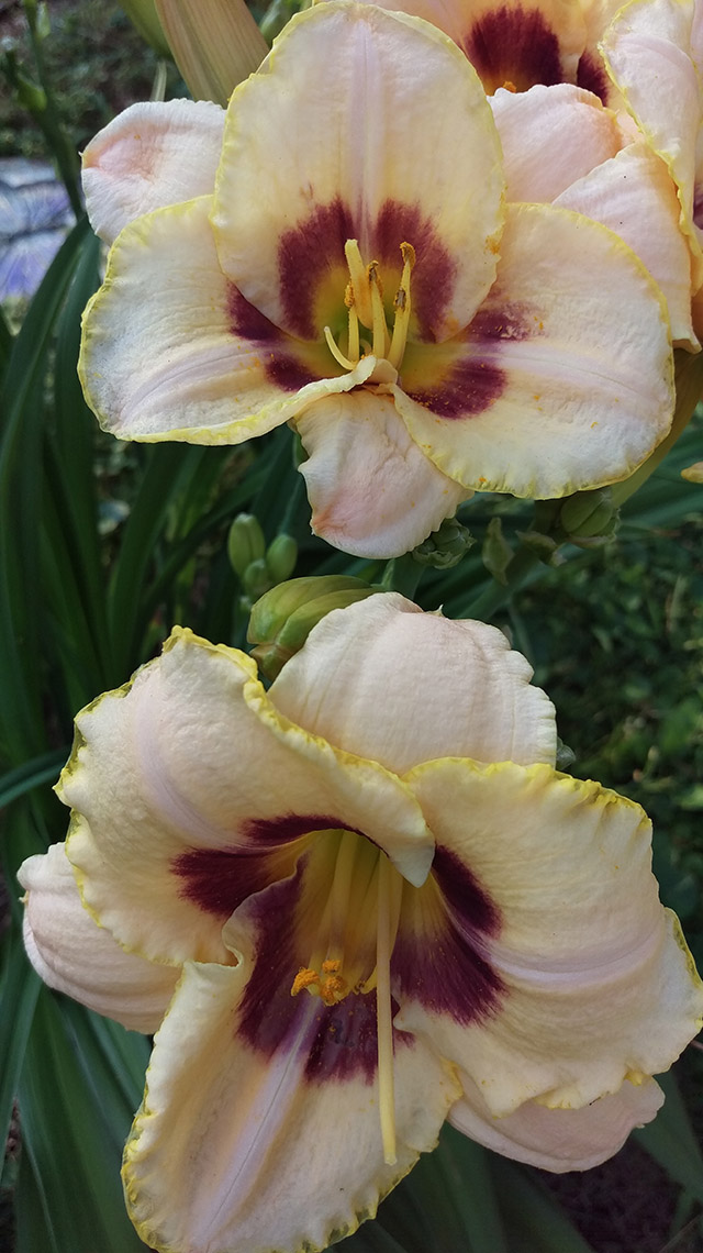Sandy B.'s peaches n cream daylily