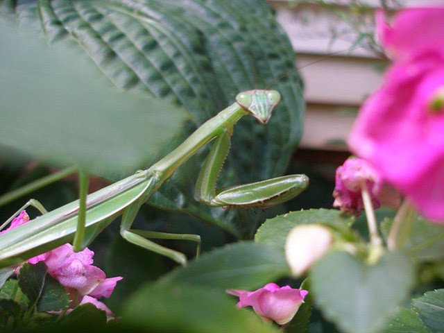3-Fan-Shares-Sandy-L-1-Praying-Mantis--8-27-2016