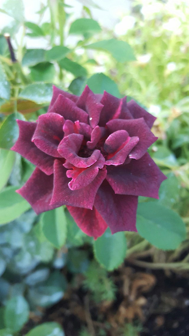 Patricia B - Beautiful Muted maroon rose