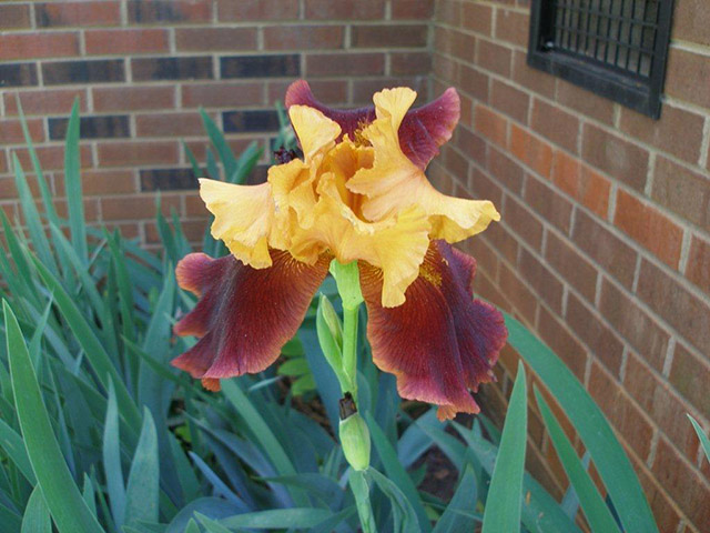 Sandra L. - Maroon and orange iris!