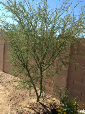 Young Palo Verde Tree