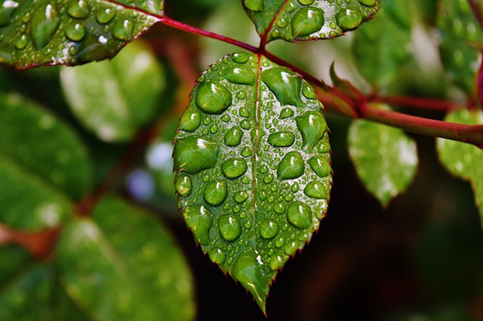 Water Droplets On Leaves