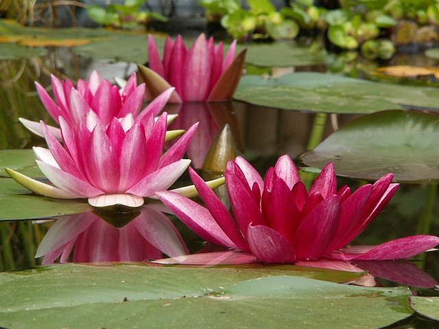 Water Lilies and Lotuses
